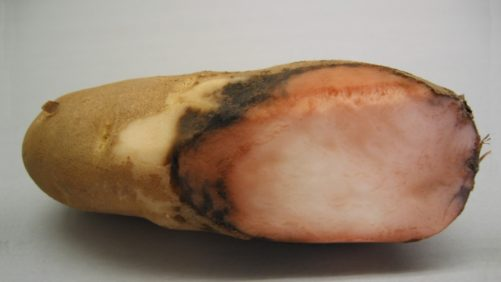 How to Manage Pink Rot in Potatoes