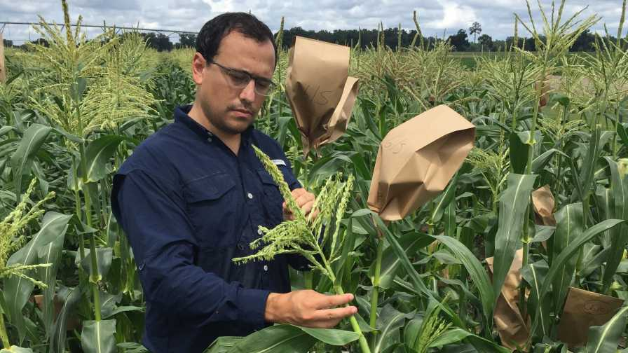 Marcio Resende scouting sweet corn crops in Florida