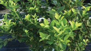 Optimize Fertilizer Applications in Young Blueberry Plantings