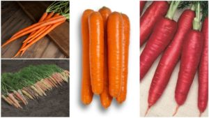12 Great Carrot Varieties for Growers