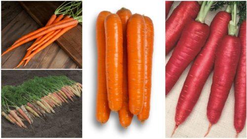12 Great Carrot Varieties for Growers