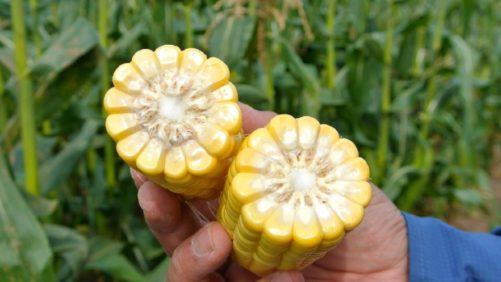 Abbott & Cobb Varieties Offer Multiple Benefits for Growers
