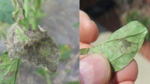 Tomato-spotted-wilt-virus-on-leaves.-Photo-by-Daniel-Egel