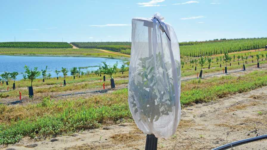 Mesh bag providing citrus psyllid protection on a young orange tree