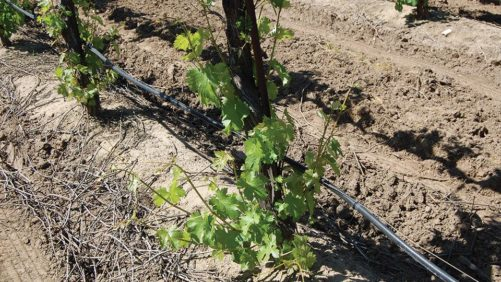 Why New Grapevine Suckering Methods May Work for You