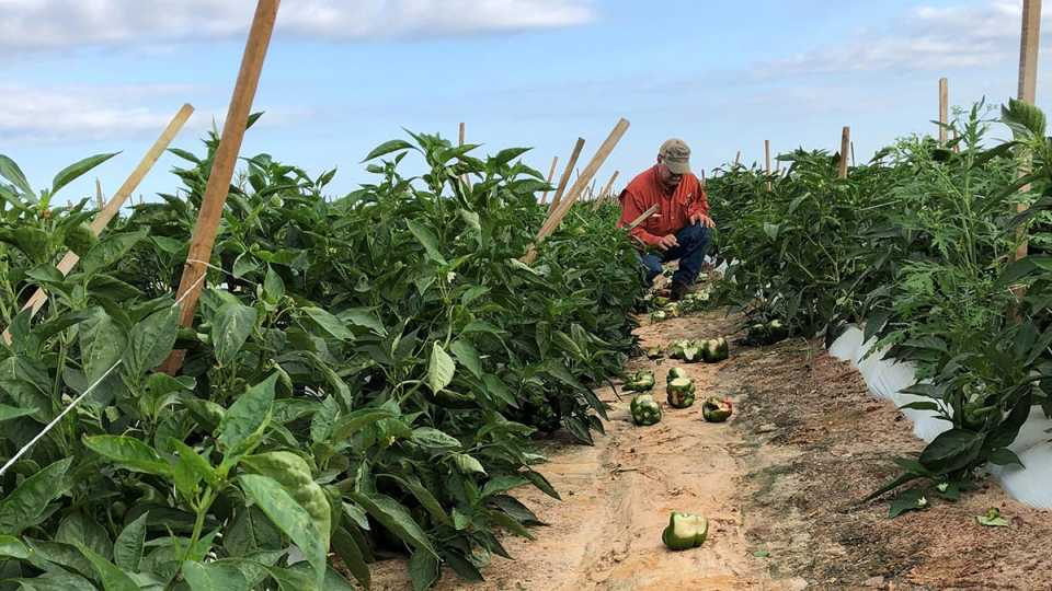 Hurricane Michael-damaged bell pepper field in Georgia