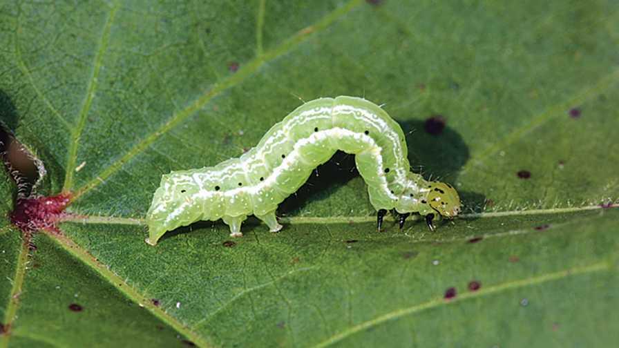 closeup of a soybean looper