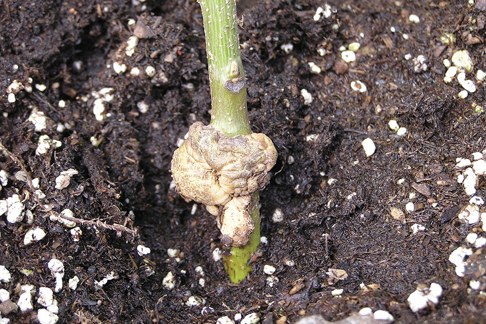 New Walnut Rootstocks May Offer Disease Resistance