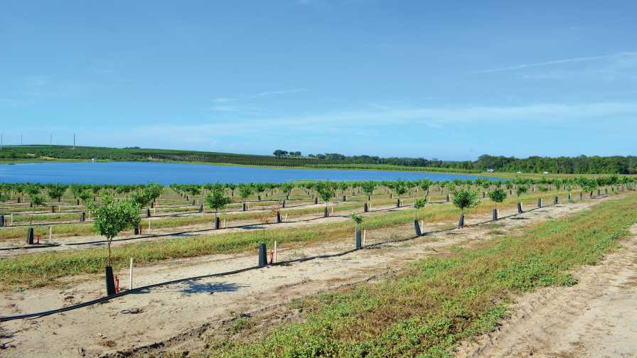 Young high-density citrus grove