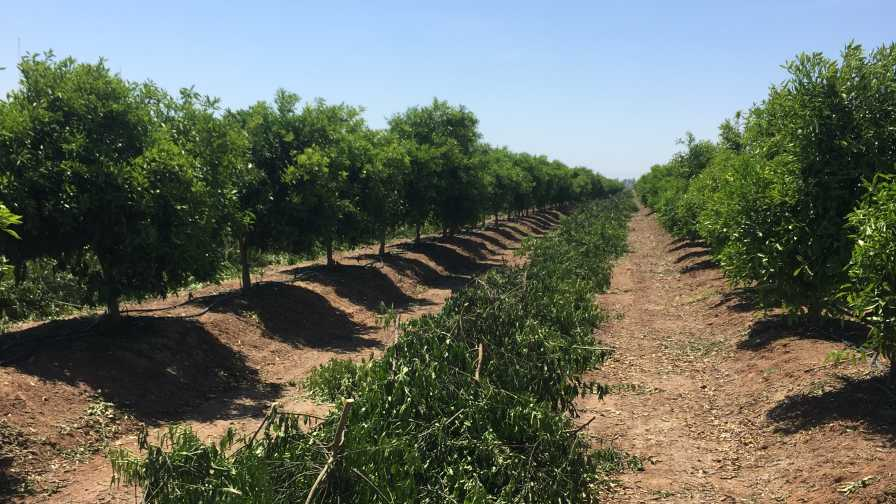 Hand-pruned California citrus grove