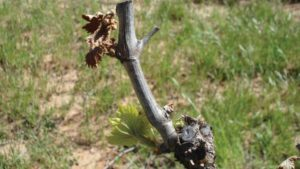 How to Avoid Frost Injury in Vineyards