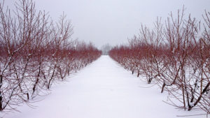 Ways Pruning Affects Tree Fruit Cold Hardiness