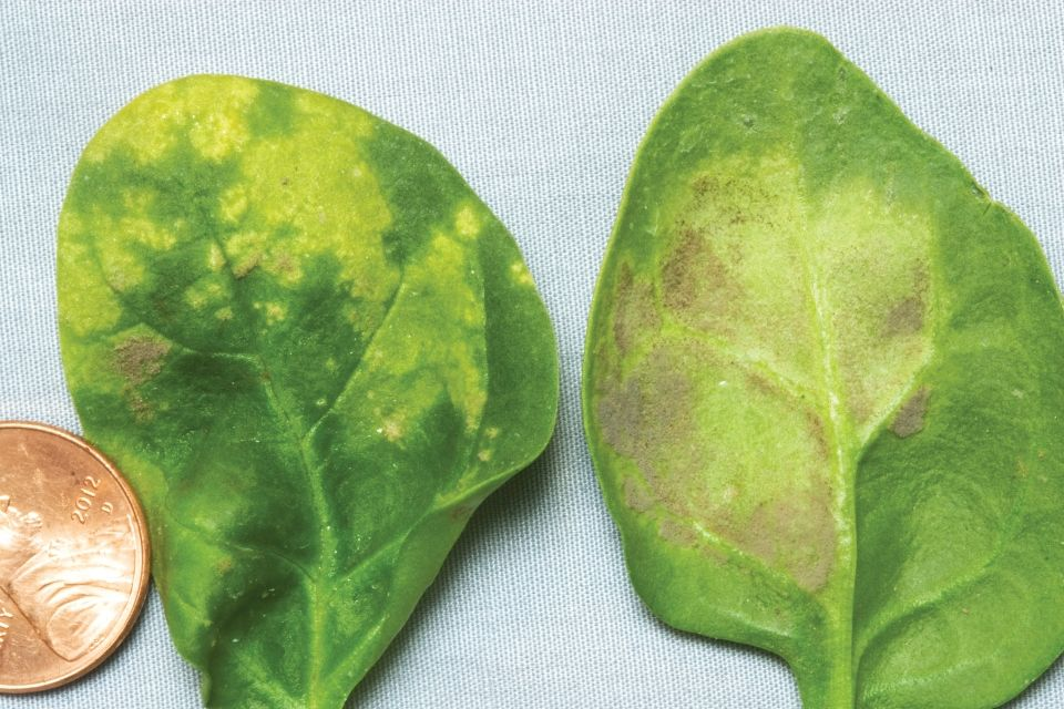 Spinach-downy-mildew-photo-by-Steven-Koike