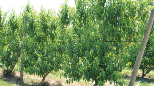 UFO is a Completely Different Way to Grow Peaches