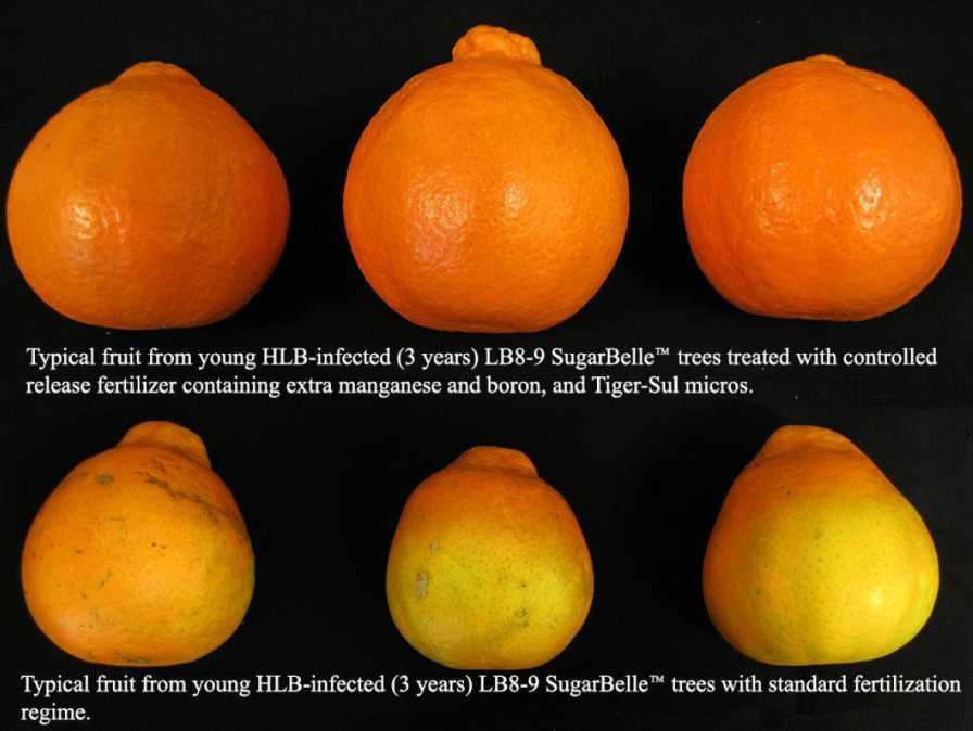 Sugar Belle citrus fertilizer program growth comparison