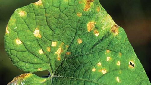 How to Keep Target Spot of Cucurbits in Your Sights