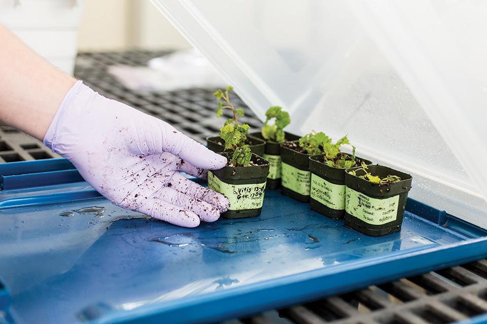 Tissue Culture Helps Nurseries Produce Virus-Free Grape