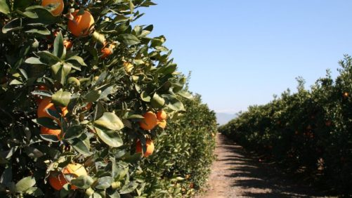 HLB Detections Soar in California Citrus Trees