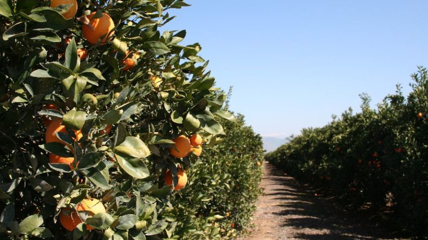 HLB Detections Soar in California Citrus Trees