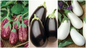 10 Eggplant Varieties Fresh for 2019