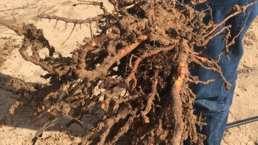 New Nematode Found in California Soil