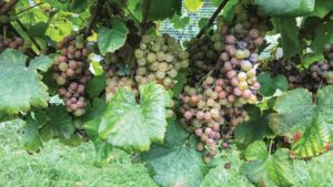 2018 Was a Wet Year for Virginia Vineyards