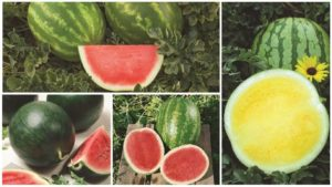 12 Watermelon Varieties You Need to Know