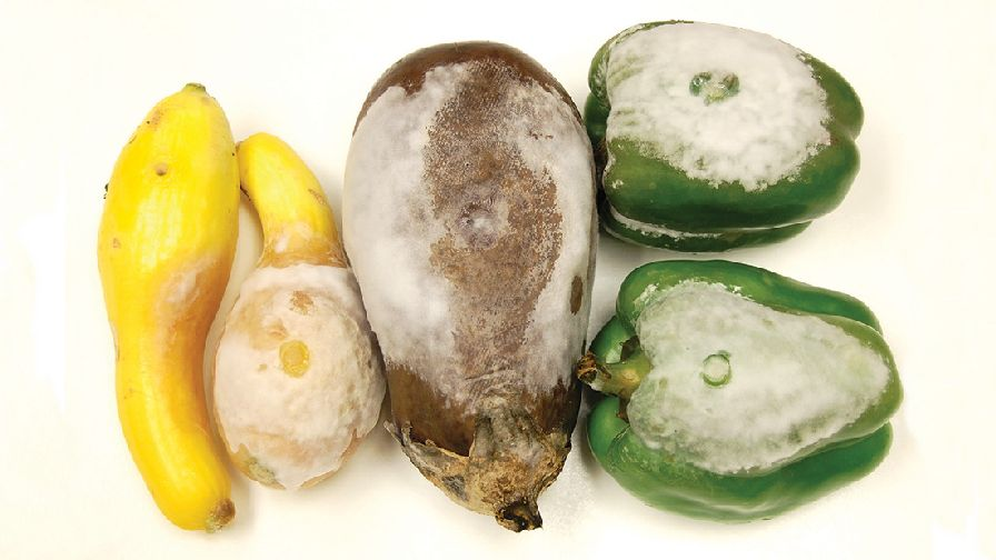 squash-pepper-eggplant-with-Phytopthora-FEATURE
