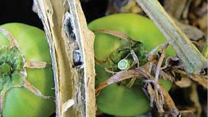Watch out for White Mold on Your Tomato Crop