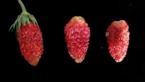 Mysterious Strawberries a Sweet Fit for South Florida?