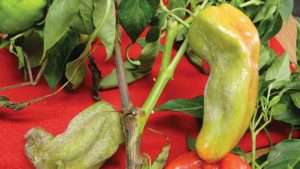 Insight on Blight Can Help Protect Your Pepper Crop