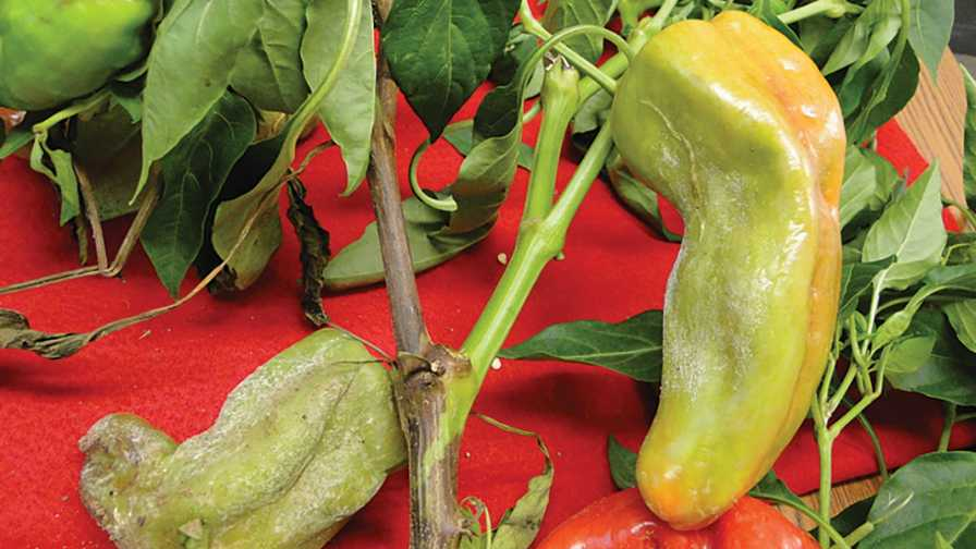 Closeup of blight of pepper