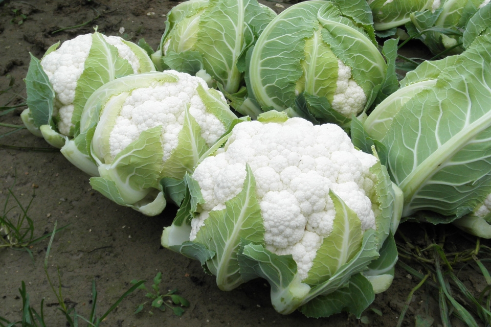 12 Cauliflower Varieties Perfect for 2019