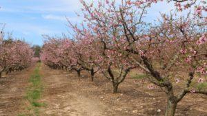 Your Pick Of Peach Varieties - Growing Produce