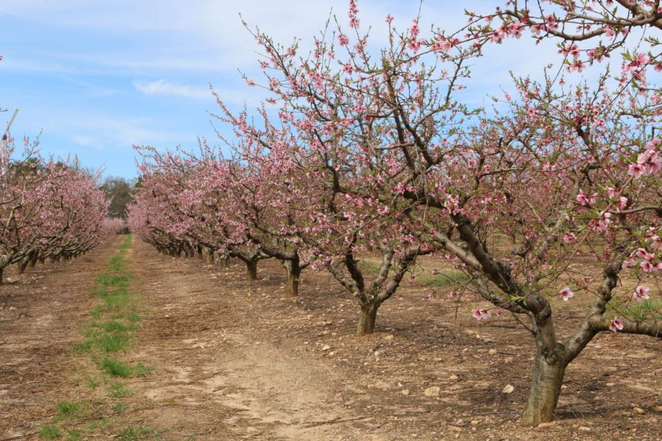 Little Frost Damage to South Carolina Peaches