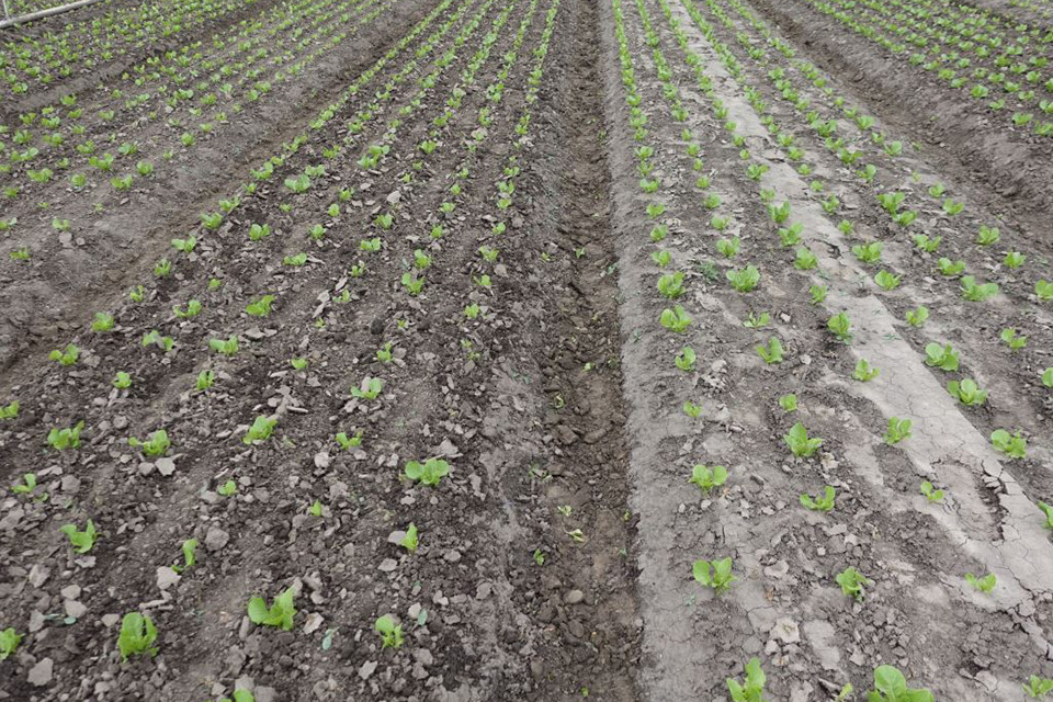 Field-after-auto-weeder-cultivator-runs-through