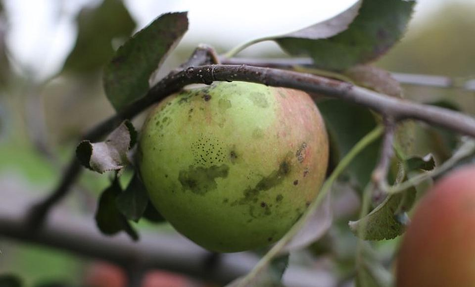 It's Never Too Early to Prevent Apple Summer Diseases and Rots