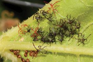 Squash-bug-nymphs-