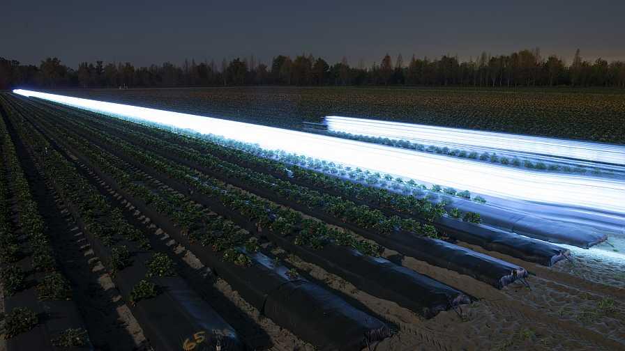 UV-lit strawberry field in Florida