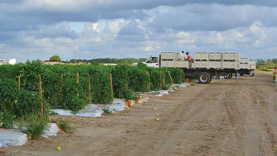 H-2A farmworkers in Florida tomato field
