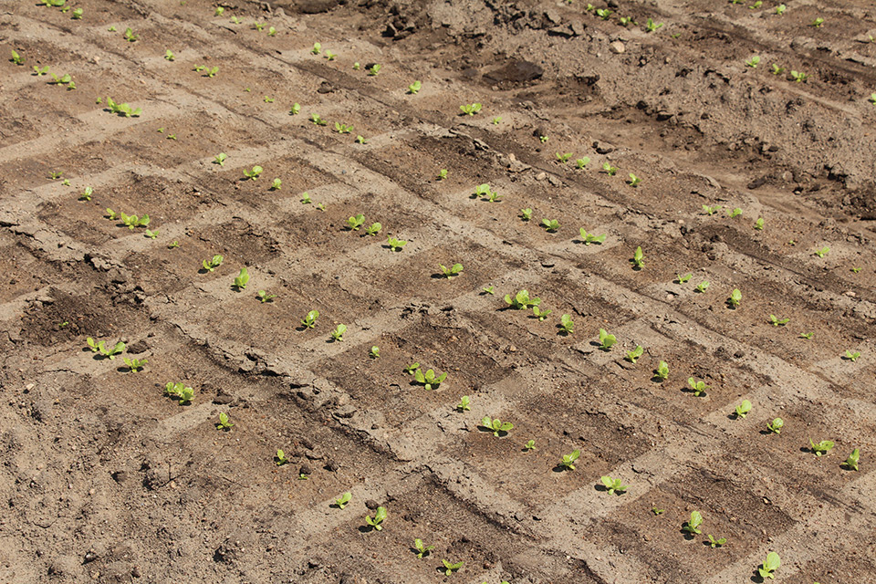 lettuce-seedlings-just-after-spraying-wet-soil
