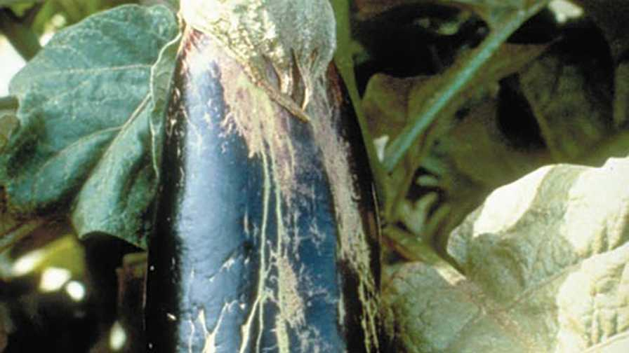 Melon thrips damage on fruit