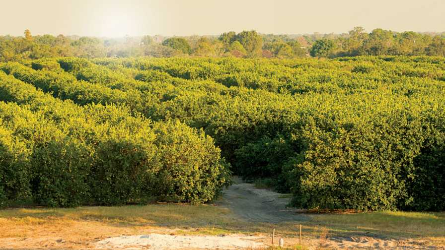 Sunny Florida orange grove