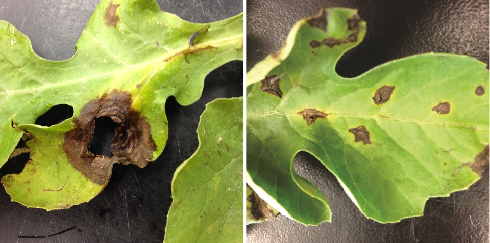 Comparing-gummy-stem-blight-to-Anthracnose