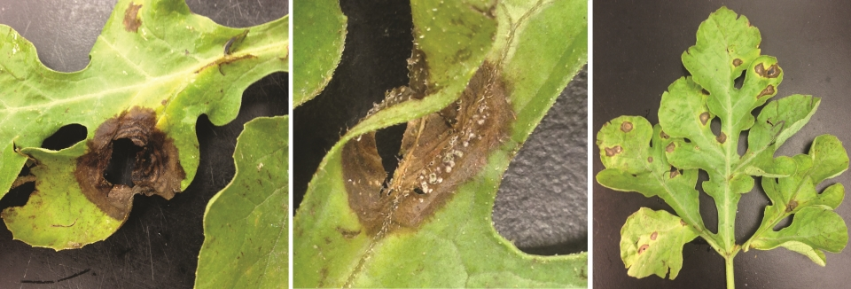 Comparing-gummy-stem-blight-to-crater-rot-or-ink-spot