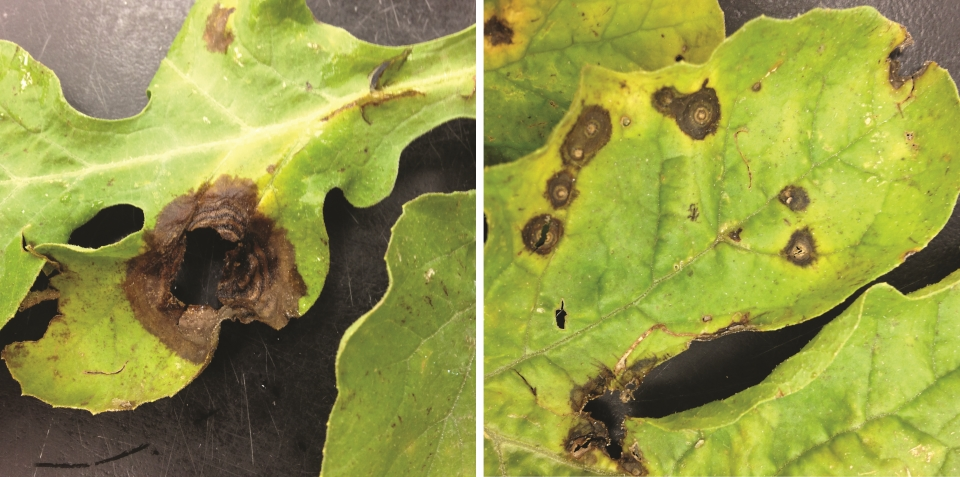 Comparing-gummy-stem-blight-with-target-leaf-spot