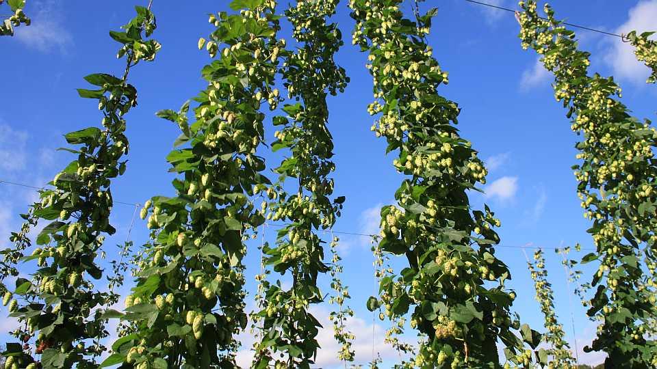 Florida hops growing on a trellis system