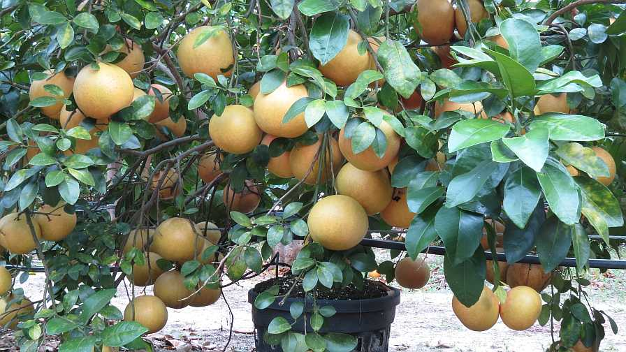 Loaded-up grapefruit tree grown under protective screen