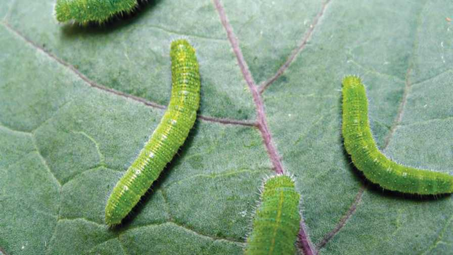 imported cabbageworms on a leaf