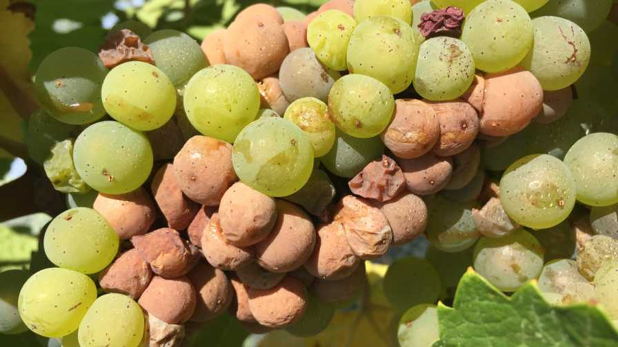 Sour rot of grapes
